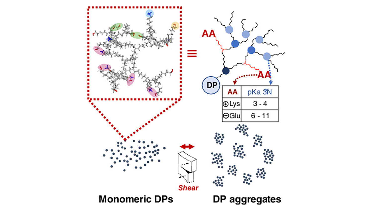 Graphic reprresentation of the work showcasing Monoeric DPs and DP aggregates