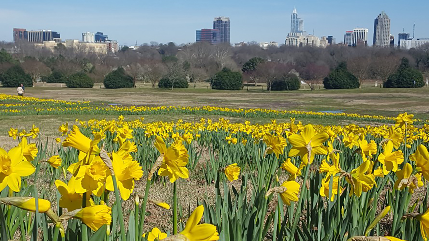 View of the dafoddils field in Dorothea Dix Park with the city of Raleigh in the backgroud